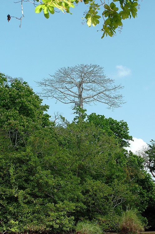 Panama Emerget Tree