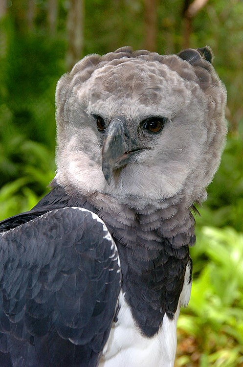 Panama Harpy 14
