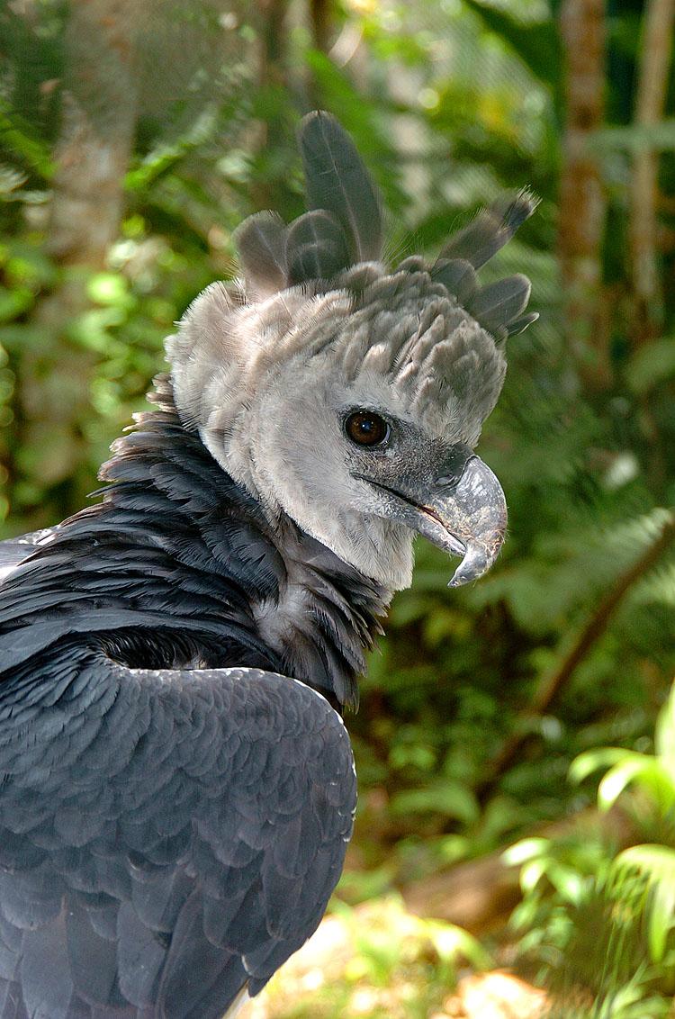 Panama Harpy 20