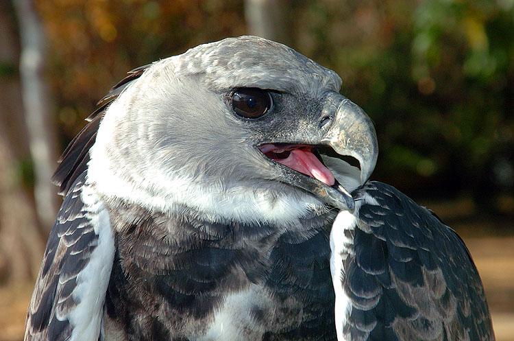 Panama Harpy 25