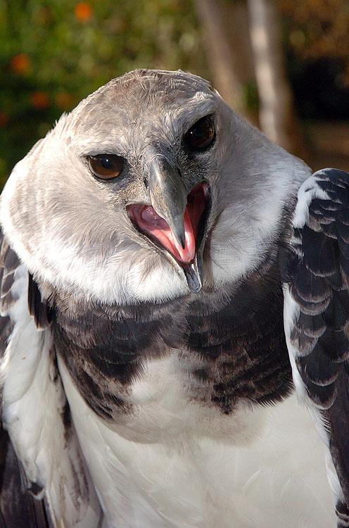 Panama Harpy 26