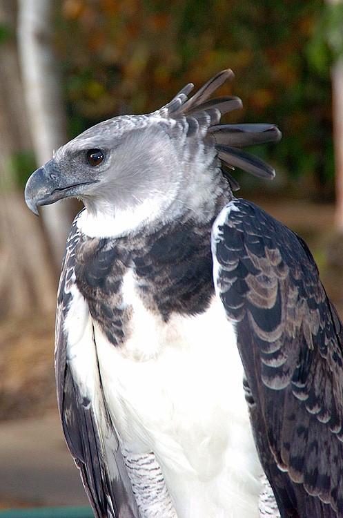 Panama Harpy 29