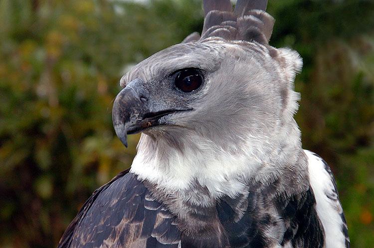 Panama Harpy 5