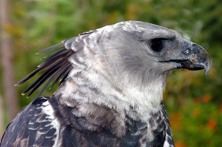 Panama Harpy 7