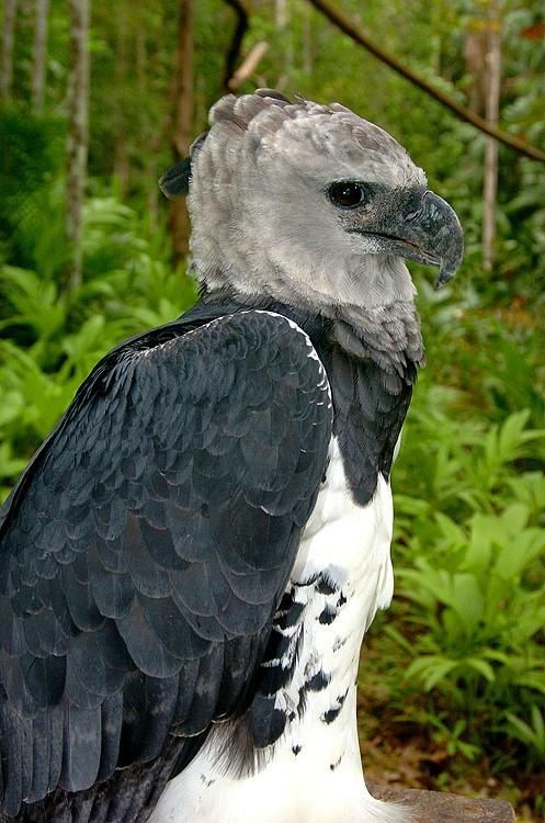 Panama Harpy 9