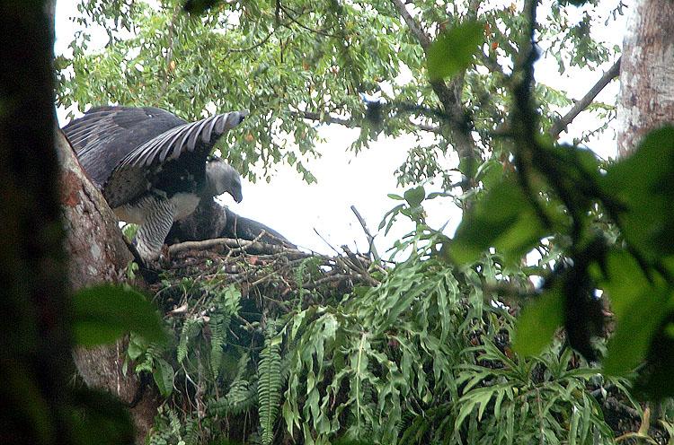 Panama Harpy Nest 2