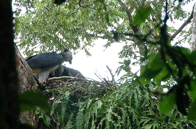 Panama Harpy Nest 3