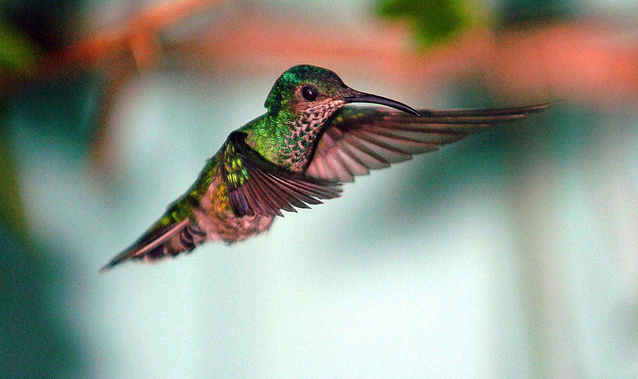 Panama Hummingbird 5