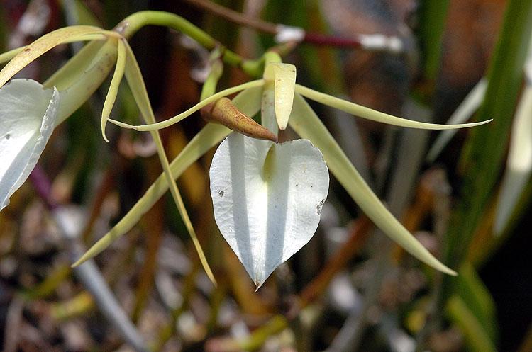 Panama Orchid 10