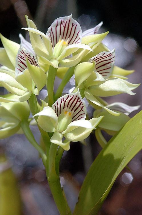 Panama Orchid 11
