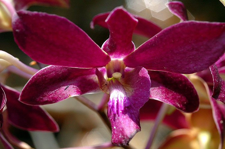 Panama Orchid 4