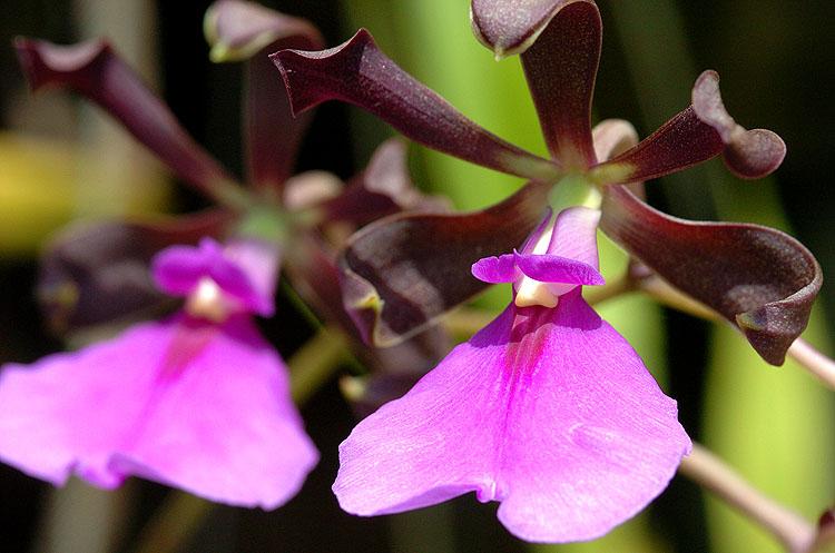 Panama Orchid 5