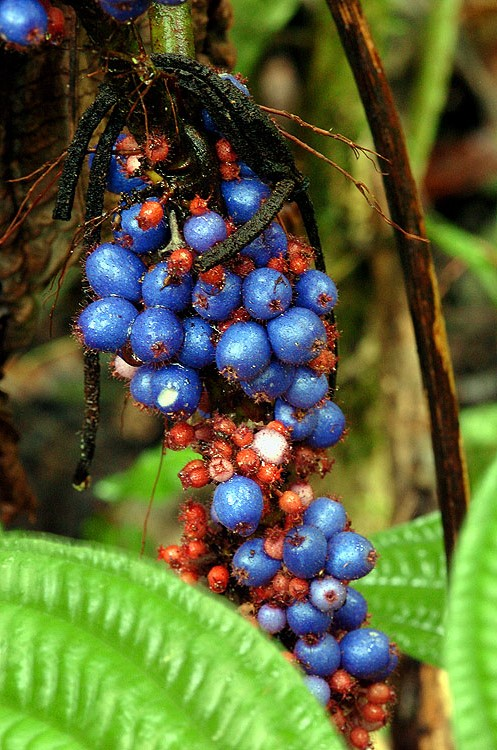 Panama Rainforest Berries 2