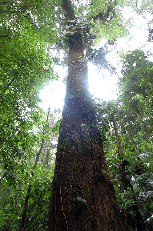 Panama Rainforest Tree