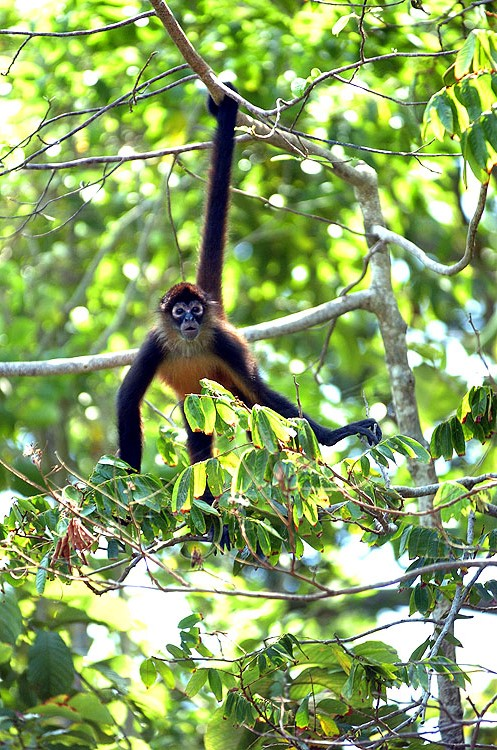 Panama Spider Monkey 3