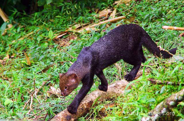 Puma yagouaroundi